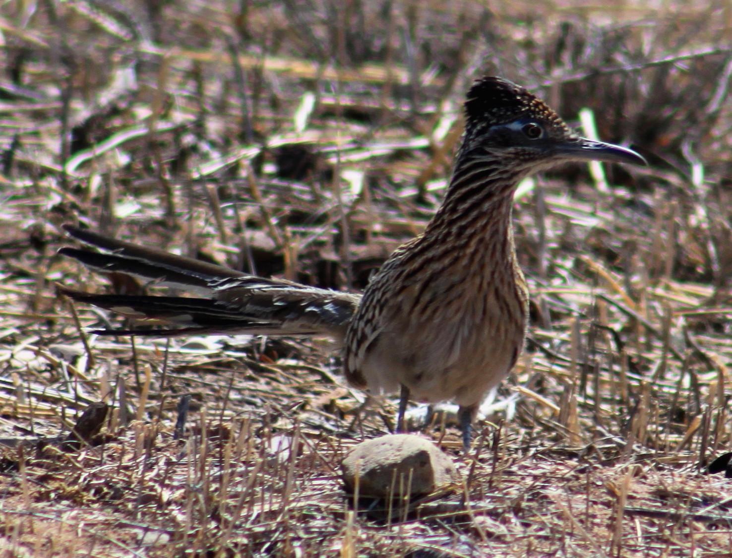 Still Life With Birder: Greater Roadrunner