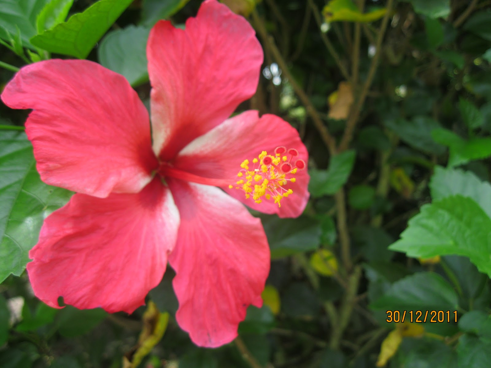 Anim agriculture technology perak herbs park this is our national flower called bunga raya with 5 petals and strong red color there are about 150 hibiscus spp tree varieties found in our country izmirmasajfo