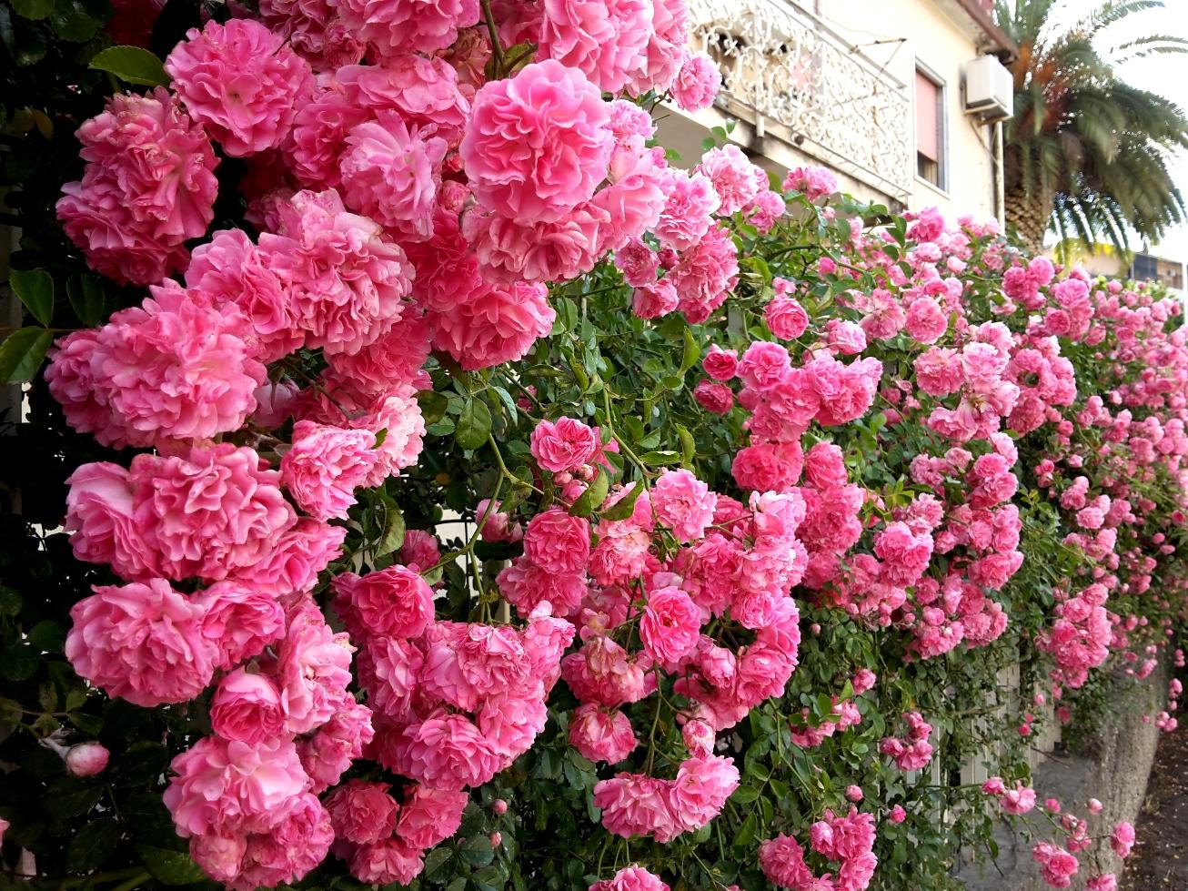 Розы кустовые уход и выращивание 63