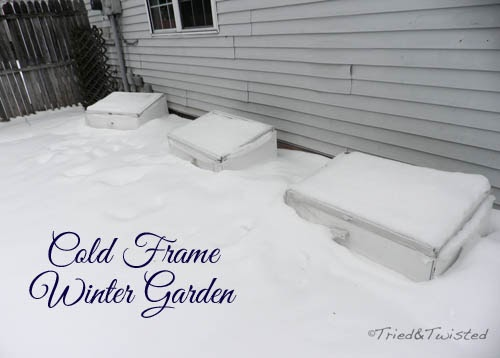 Cold Frame Winter Garden | Tried & Twisted