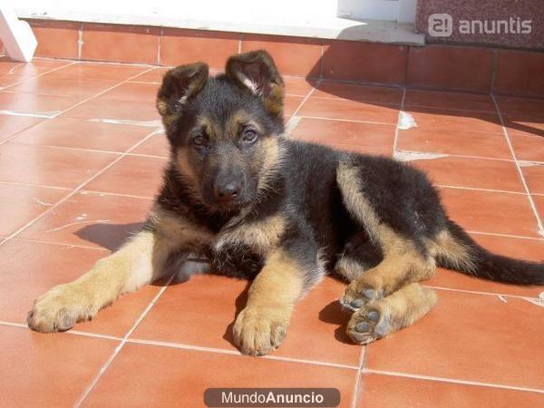 foto cachorro pastor aleman: