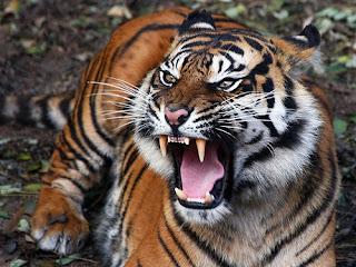 Gambar Harimau Jawa