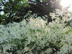 Autumn Clematis