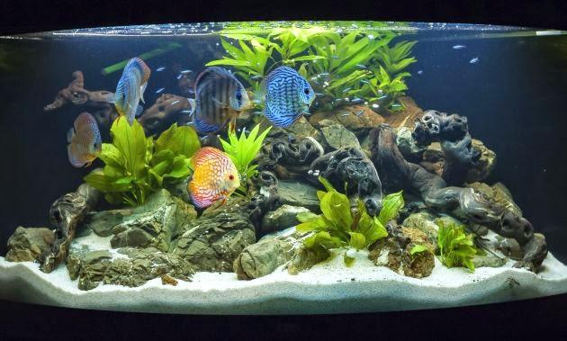 Todomascotas com c mo elegir peces para una pecera - Pecera de pared ...