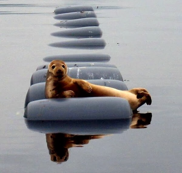 Funny animals of the week - 20 December 2013 (40 pics), funny seal picture
