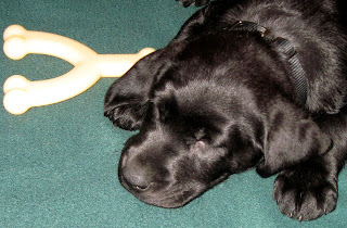 Knox the Guide Dog Puppy