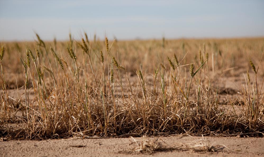 Stunted wheat in Logan County, Kansas