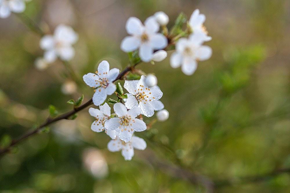 Blackthorn flower