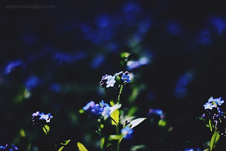 kwiaty, fotografia kwiatów, fotografia przyrodnicza, niezpominajki, forgetmenot