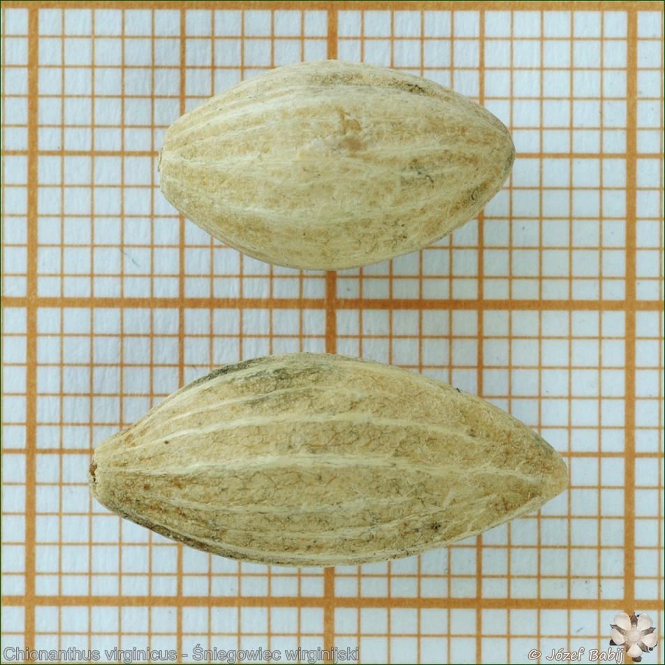 Chionanthus virginicus - Śniegowiec wirginijski