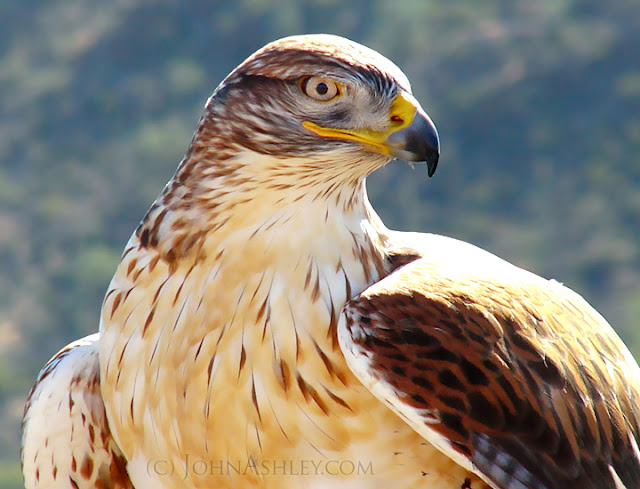 Adult Ferruginous Hawk (c) John Ashley (trained subject)