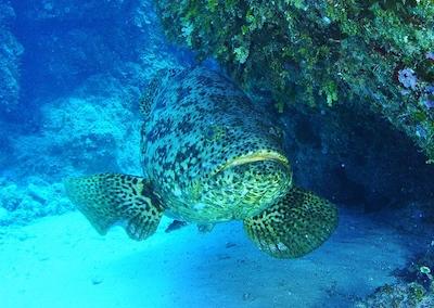 epinephelus-itajara-goliath-grouper
