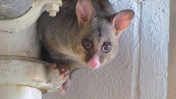 possum magic - australia