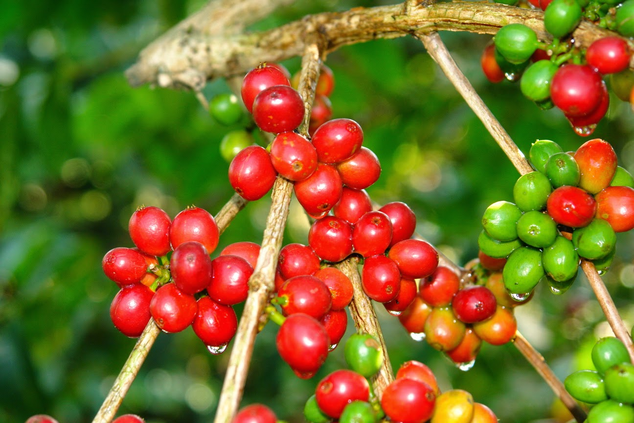 Cundas King Coffee Kopi Robusta Premium Gayo Land Currently In Aceh There Are Two Types Of Is Cultivated Arabica And Famous Ulee Kareeng