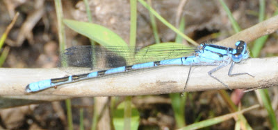 northern-type bluet (Enallagma sp)