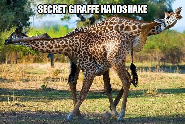 30 Funny animal captions - part 18 (30 pics), giraffe meme, secret giraffe handshake