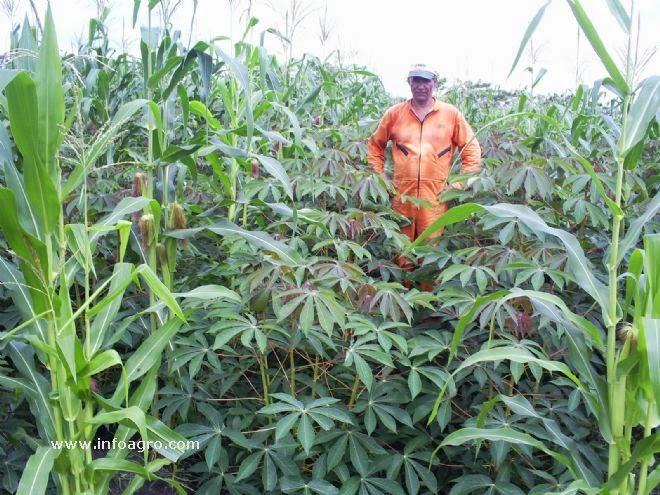 Valeria guachagmira fenolog a del cultivo de yuca for Yuca planta de exterior
