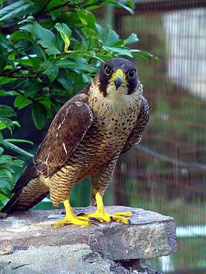 Resultado de imagen de halcon maltes, peregrino-animal