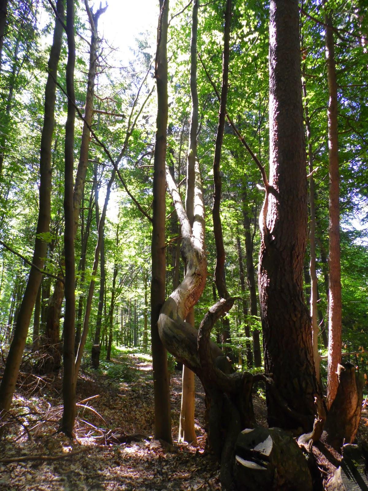 niezwykłe kształty drzew przy drodze z Muszyny na Jaworzynę Krynicką