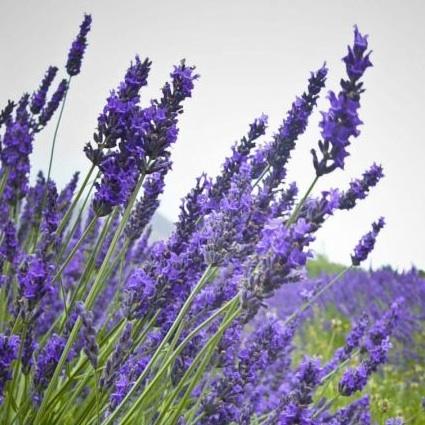 Malinalli herbolaria m dica lavanda lavender for Lavanda cultivo o cuidados