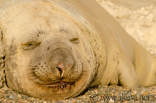 Valdes Peninsula elephant seal season. They are forming colonies