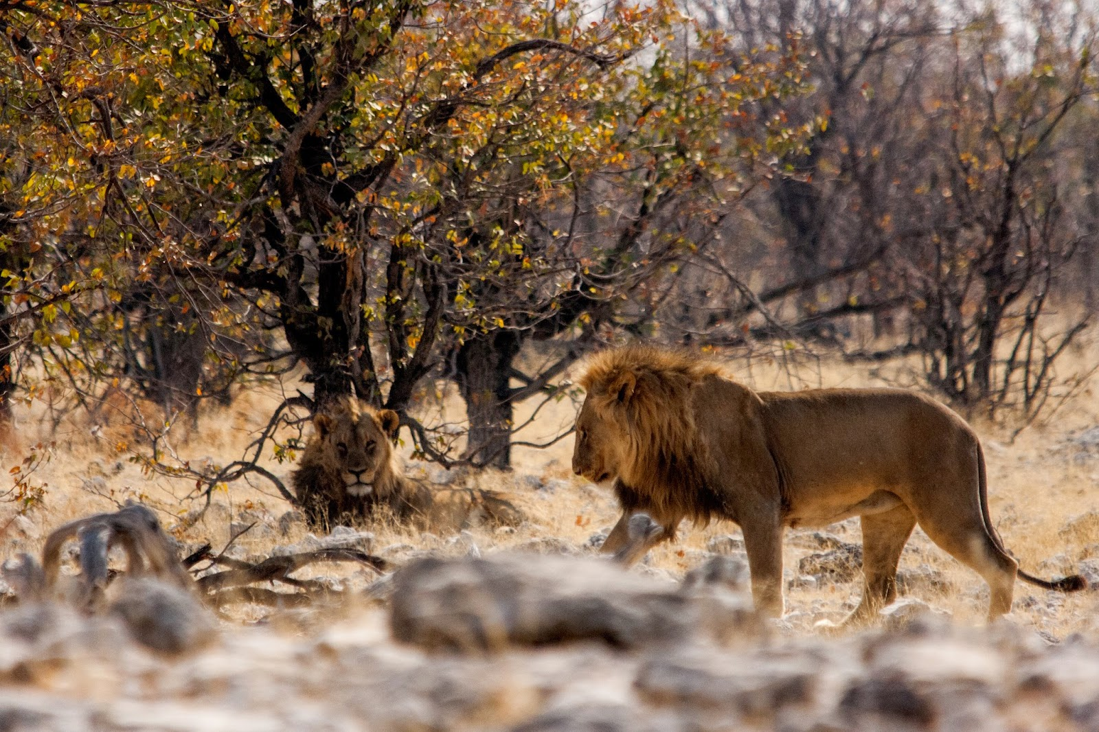 lions two brothers namibia