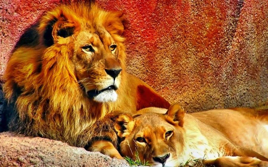 1 - اجمل صور للأسد -  Photos of the Lion