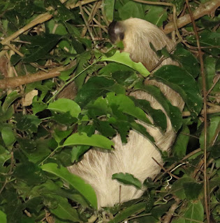 Choloepus didactylus, Southern Two-toed Sloth