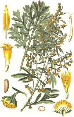 Estragão, Artemisia dracunculus