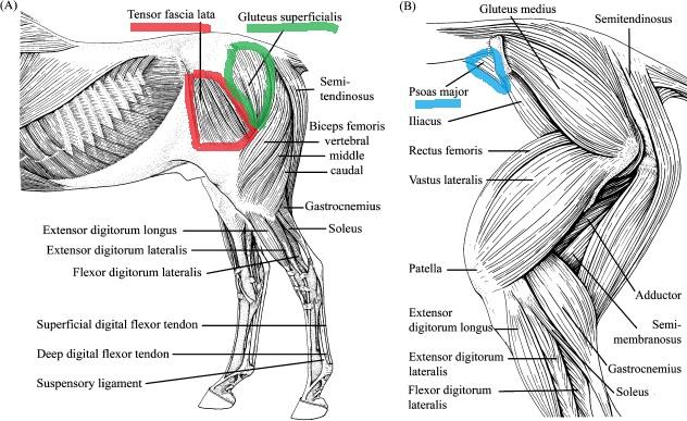 Building Shoulder Muscles In Horses