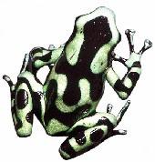 Sapo-Flecha-de-Veneno-da-Amazônia (Dendrobates auratus)