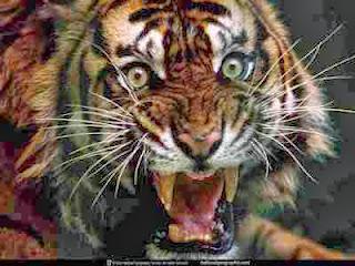 tigre atacando