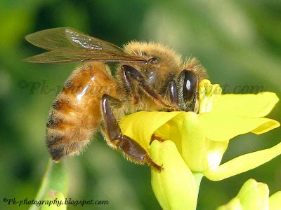 Honey Bee on Canola