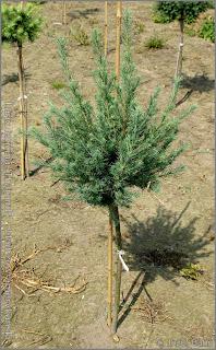 Larix laricina 'Tharandt' - Modrzew amerykański 'Tharandt'