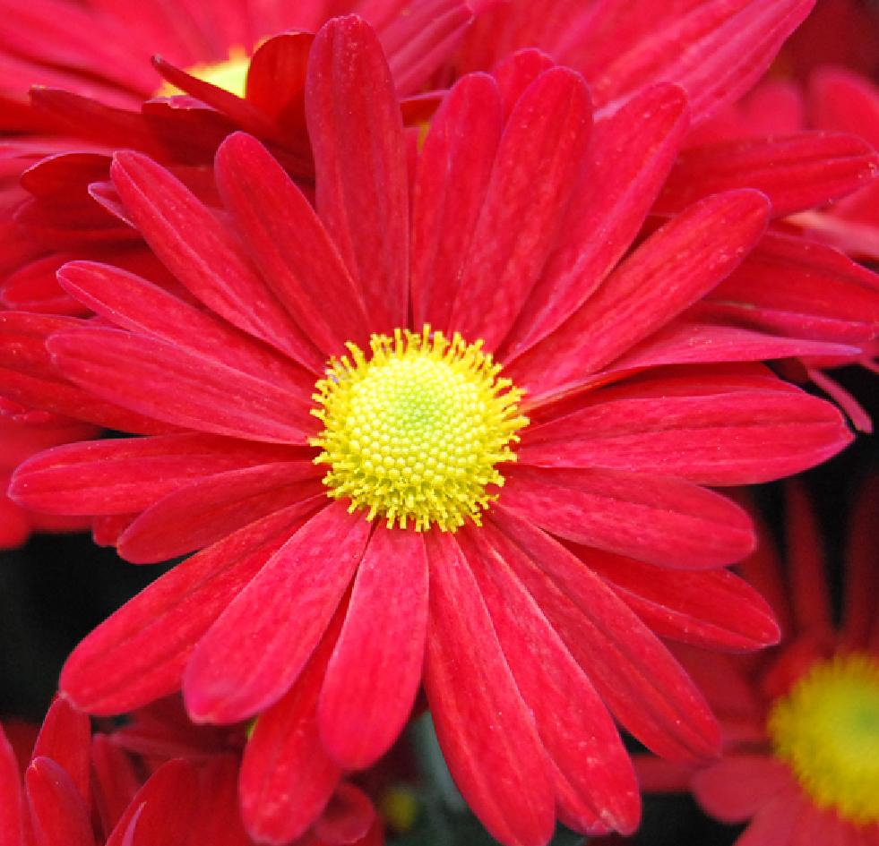Fotos de flores: CRISANTEMOS DE VARIOS TIPOS Y COLORES