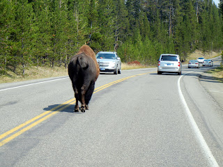 Buffalo walking on road in Yellowstone National Park in Wyoming