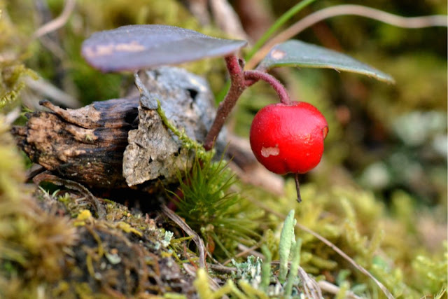 something nibbled on this wintergreen berry