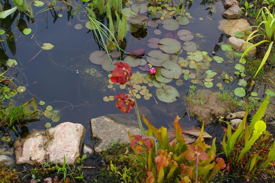 plante carnivore dans bassin