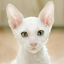 Cornish Rex Cat Temperament Personality and Grooming