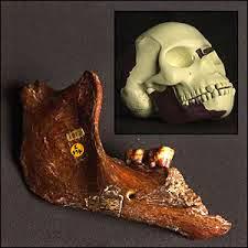 Mandíbula de orangután encajada