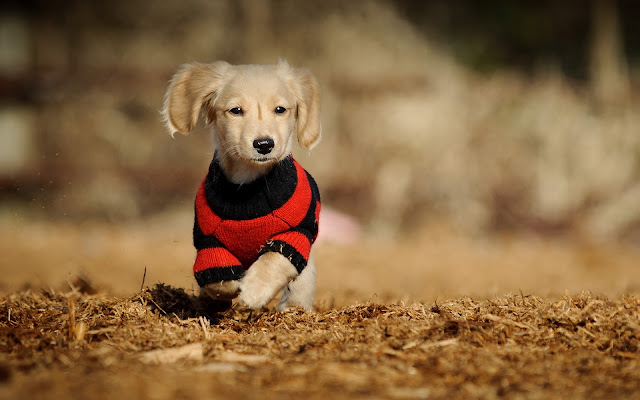 Cachorro Golden Retriever Corriendo Imágenes de Perros