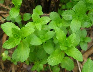 Closeup of Persian mint in yard