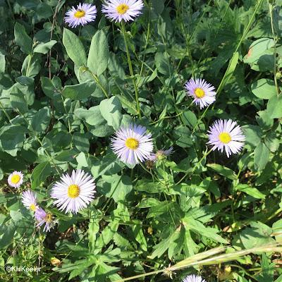 daisy, Erigeron
