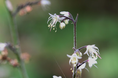 Tiarella unifoliata (Foamflower)
