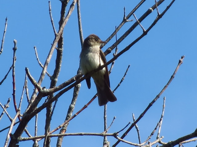 eastern wood-pewee another look