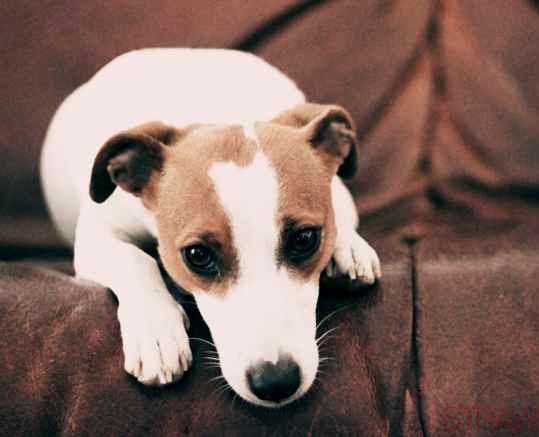 Precious island cute jack russell terrier