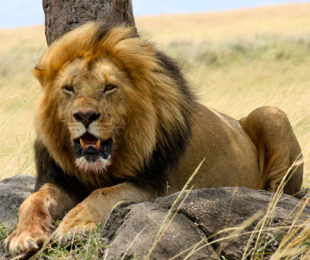 The Lion | Interesting Facts About King Of Jungle | Animals Lover