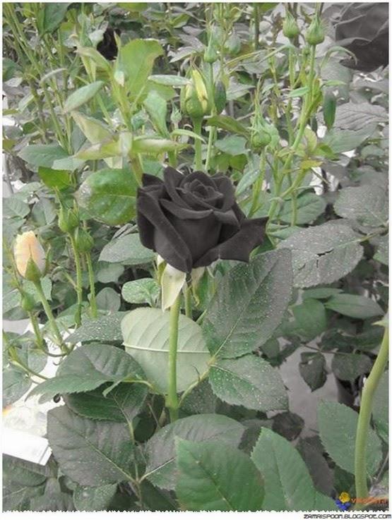 Bunga mawar hitam hir pupus