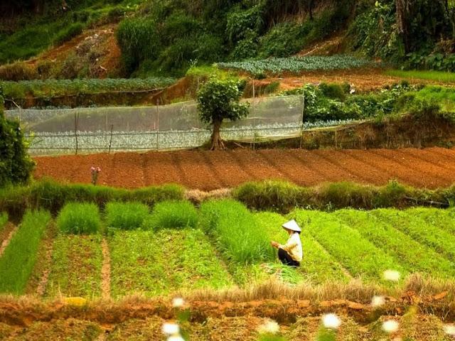 Rice fields in Da Lat