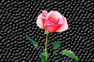mawar_pink10802